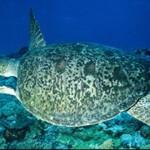 99%的大堡礁綠海龜正在孵化為雌性