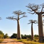 非洲最堅硬的猴麵包樹瀕臨滅絕