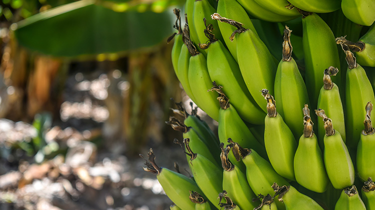 吃青皮香蕉、隔夜飯會減瘦?