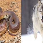《人間劇場146》雪狼與猛蛇