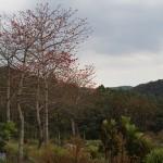 環海南島佛系旅行(三)初見木棉