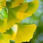 銀杏葉有助於探究氣候變化