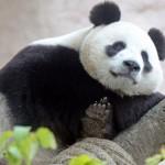 海康威視向莫斯科動物園捐贈用於熊貓觀察和研究的高清攝像機