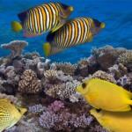 就像是一個DJ:健康的珊瑚礁聲音可能會吸引魚去到受損的珊瑚礁