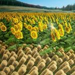 學習向日葵並提高太陽能集熱器效率