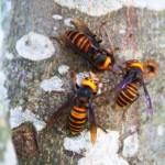 認識亞洲殺人大黃蜂