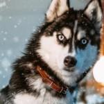 北極雪橇犬要回家