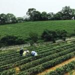 【報橘專訪】喝茶也能環島!全台 28 處「亮點茶莊」,由青農帶你品味台灣茶的滋味