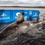科學家發現巨大白鯊