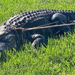 佛羅里達徵捕鱷魚人