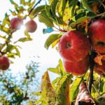 蘋果的好處比你知道的還多