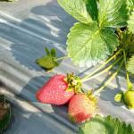 草莓季開跑GO!  如何採到鮮紅欲滴果粒看這裡