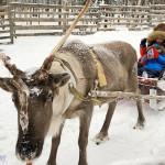 芬蘭羅瓦涅米:哈士奇與麋鹿的夢幻銀白世界
