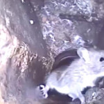 倫敦鼠患嚴重