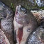 【養殖漁業會改善濫捕?錯!】跟海洋魚類差很多!3 個養殖魚類的福利困境,需要你關心
