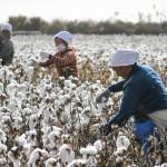 新疆棉棉無絕期