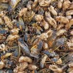 【10 億隻「週期蟬」突襲美國】蟄伏地底 17 年,一次傾巢而出!這群蟬為何選「質數年」出現