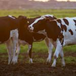新發現:牛胃中的細菌可以分解塑膠