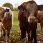牛胃可當塑膠袋