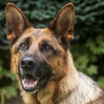 中國政府呼籲大眾領養訓練失敗軍犬