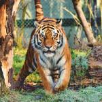 加州動物園正為動物們施打COVID疫苗