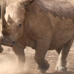 倒掛犀牛獲得今年搞笑諾貝爾獎
